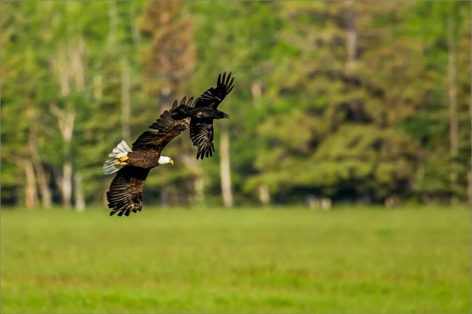 Bird jousting - 2014 © Christopher Martin