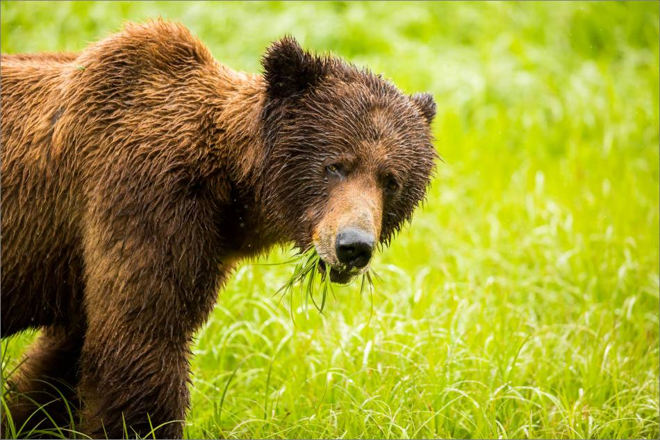 A Grizzly Boar's Breakfast in the Khutzeymateen - 2014 © Christopher Martin