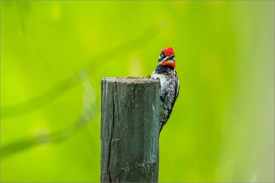 Red-naped Sapsucker - 2014 © Christopher Martin
