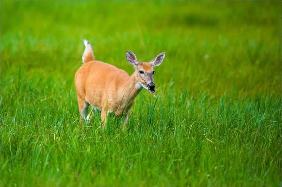 White-tailed deer - 2014 © Christopher Martin - 9391
