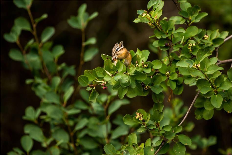 Chipmunk - © Christopher Martin-7129