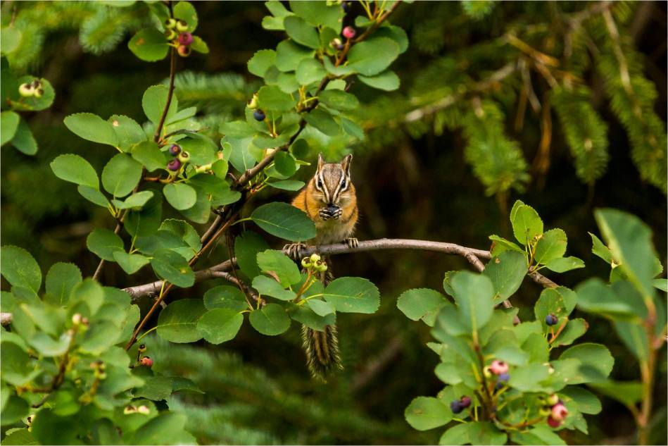 Chipmunk in the berry tree - © Christopher Martin-7139