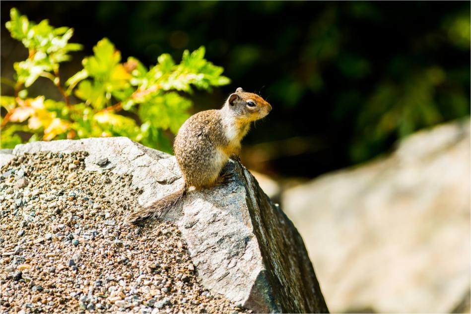 Columbia Ground Squirrel - 2014 © Christopher Martin