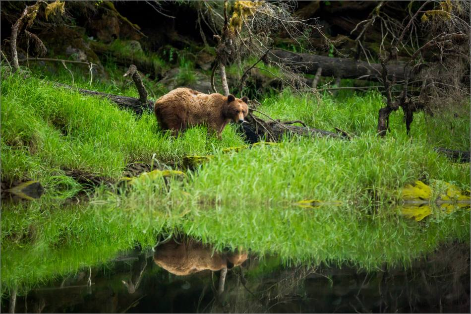 Grizzly reflected - 2014 © Christopher Martin