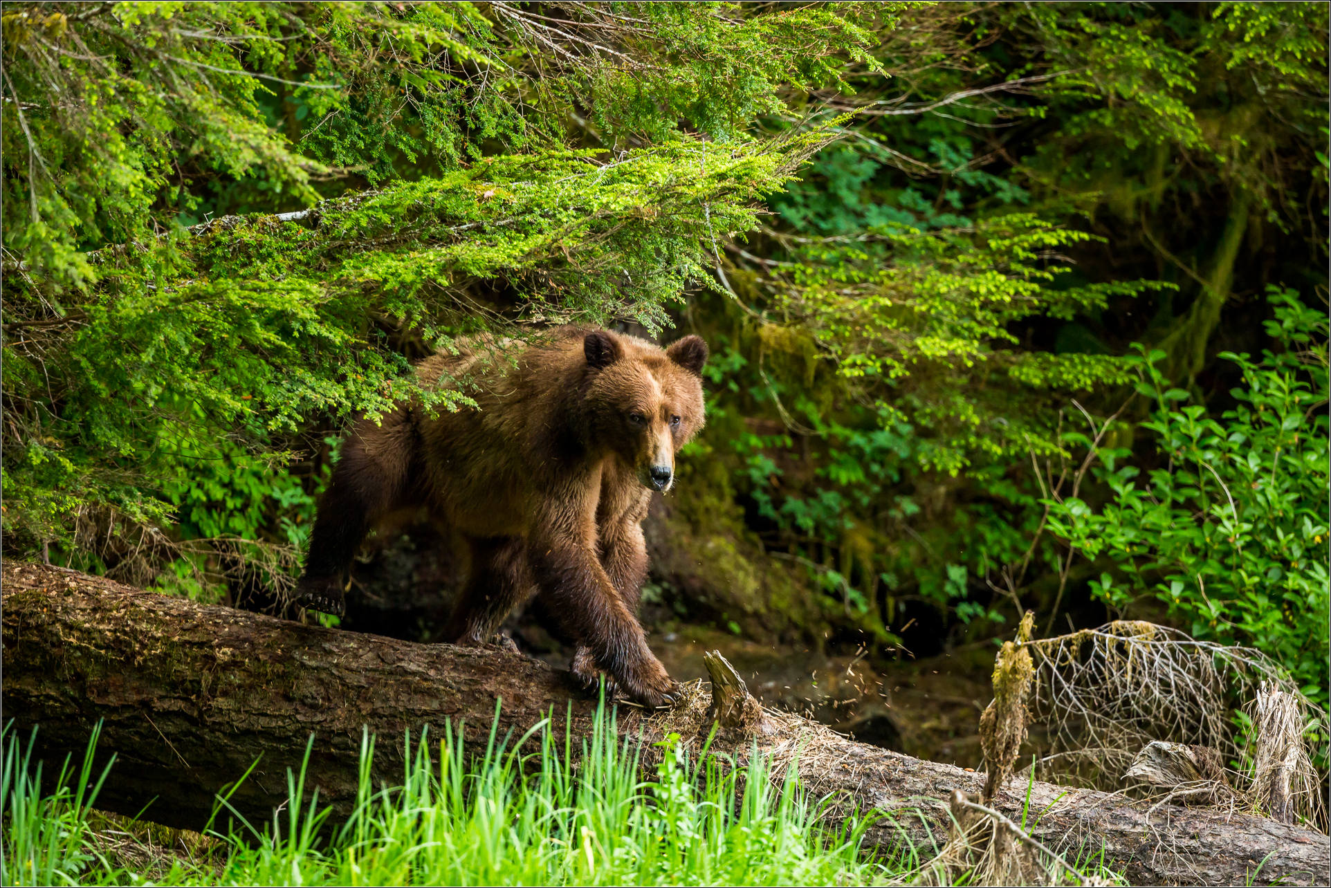 K Rsquo Tzim A Deen Grizzly Bear Sanctuary Christopher Martin