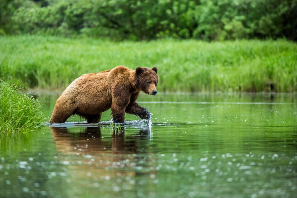 Grizzly on a water walk - 2014 © Christopher Martin