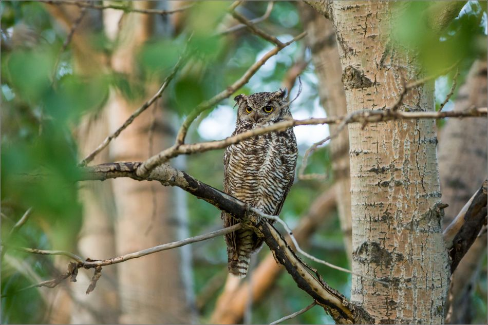 Owl in the trees - 2014 © Christopher Martin