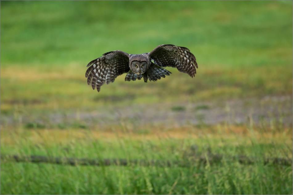 Owl morning hunt - 2014 © Christopher Martin