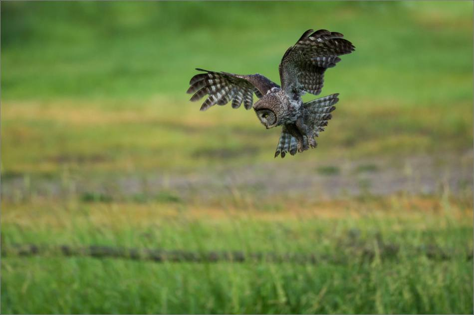 Owl morning hunt - 2014 © Christopher Martin