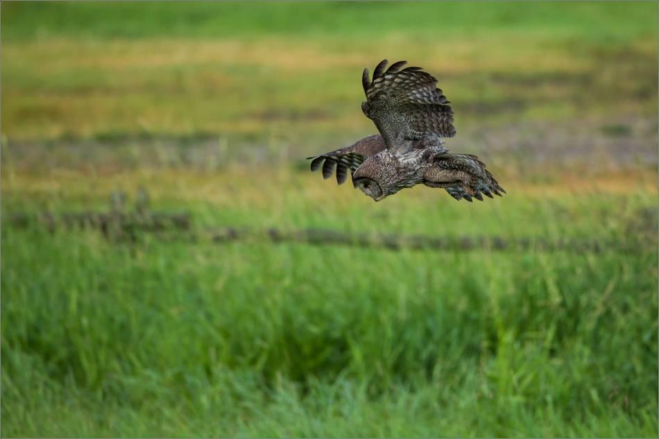 Owl morning hunt - 3 - 2014 © Christopher Martin