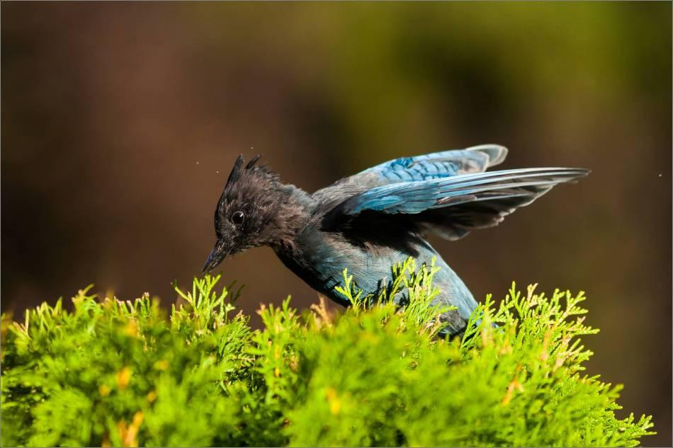 Stellar Jay - © Christopher Martin-4472