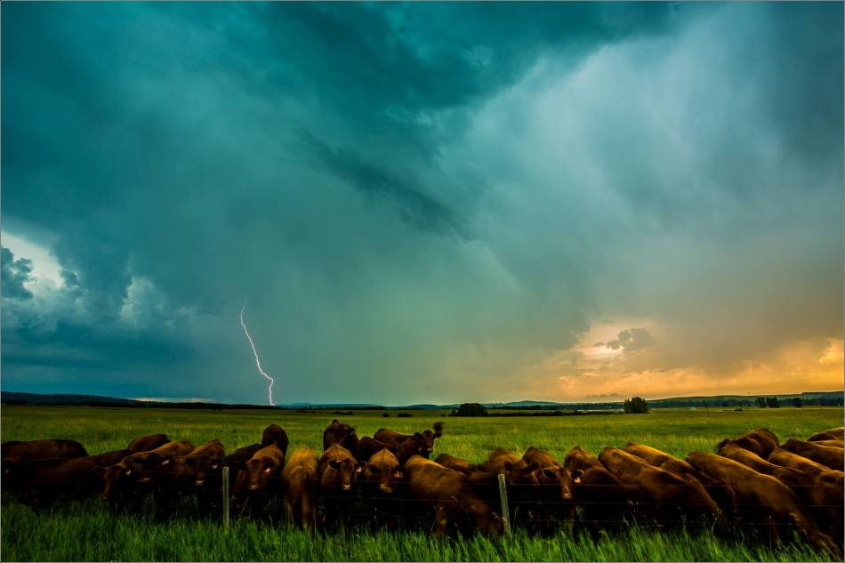 Cows and lightning - 2014 © Christopher Martin