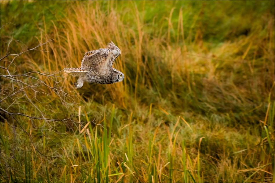 Autumn Great Horned Owl flight - © Christopher Martin-2735