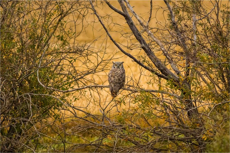 Autumn Tiger Owl - © Christopher Martin-2809