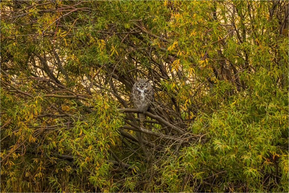Autumn Tiger Owl - © Christopher Martin-2969