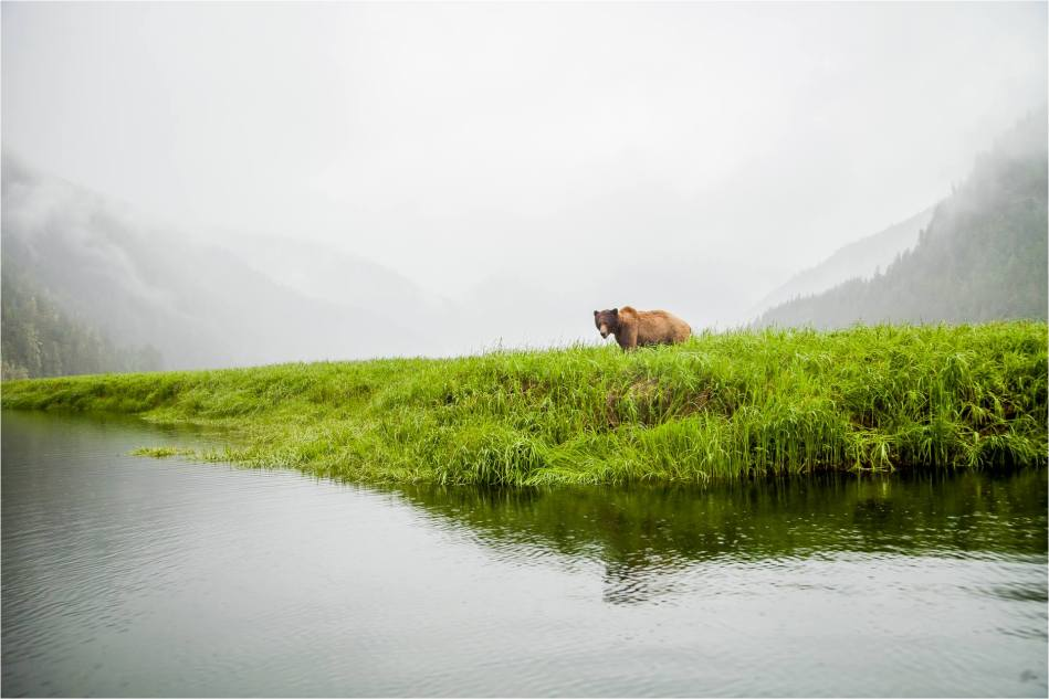 Khutzeymateen Grizzly - 2014 © Christopher Martin