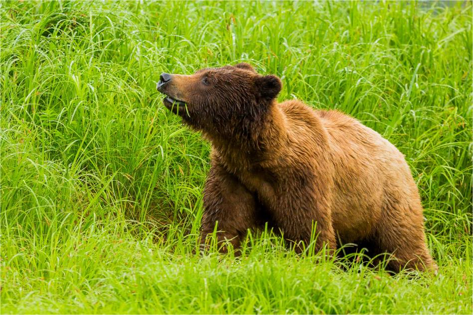 Grizzly and grass - 2014 © Christopher Martin
