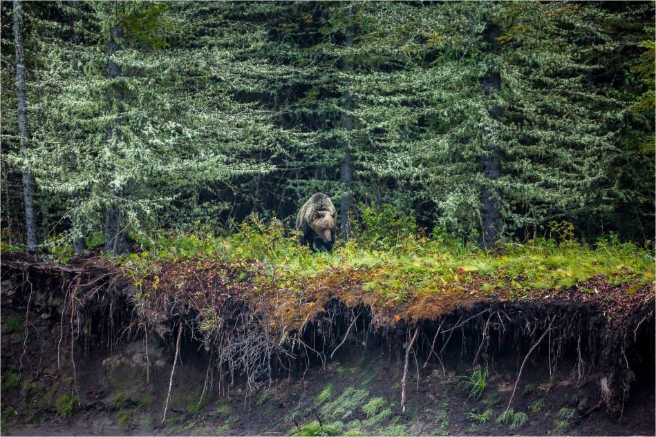 Kananaskis Grizzly 151 - © Christopher Martin-0256