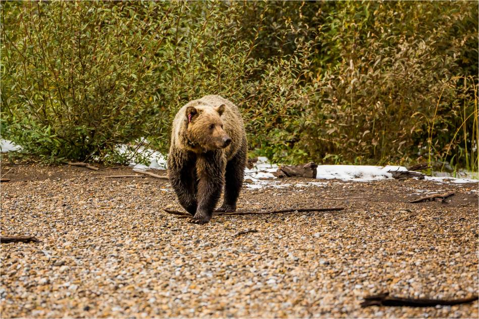 Kananaskis Grizzly 151 - © Christopher Martin-1025