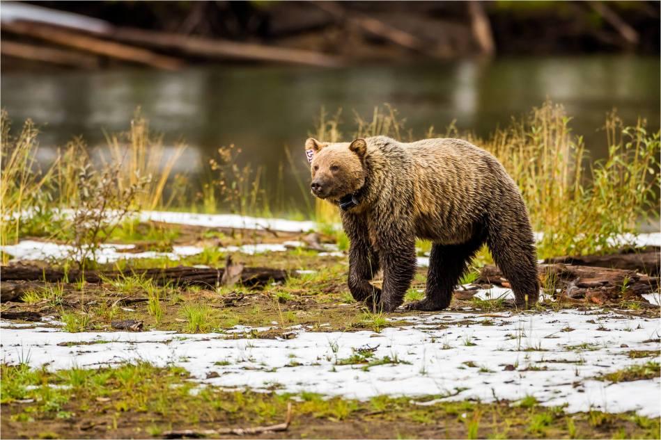 Kananaskis Grizzly 151 - © Christopher Martin-1054