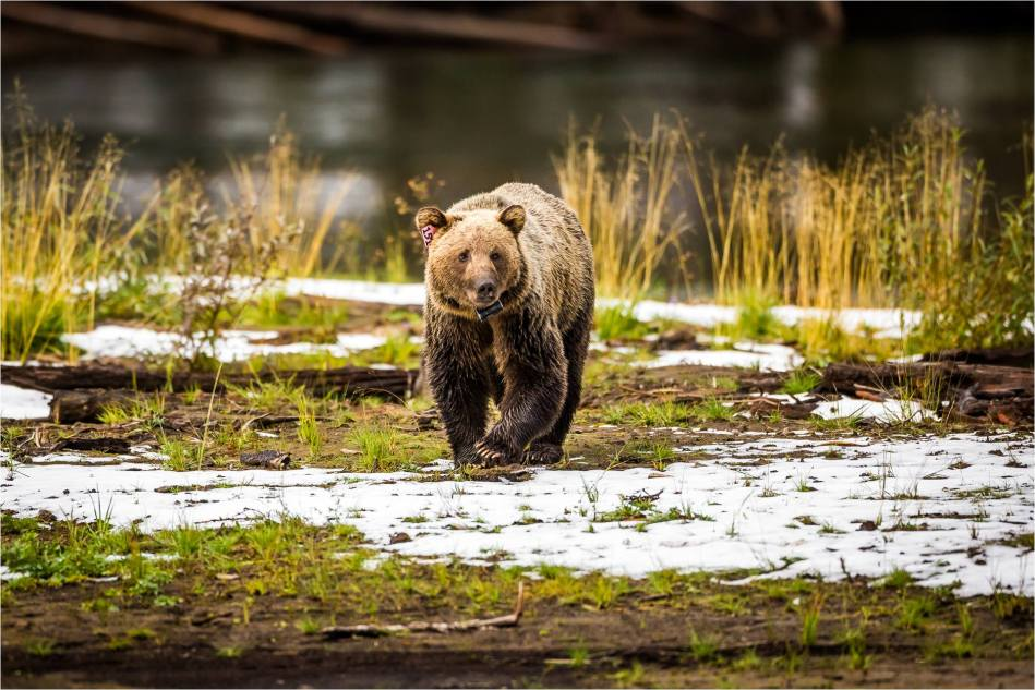 Kananaskis Grizzly 151 - © Christopher Martin-1060