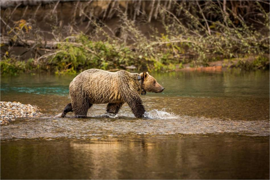 Kananaskis Grizzly 151 - © Christopher Martin-1075