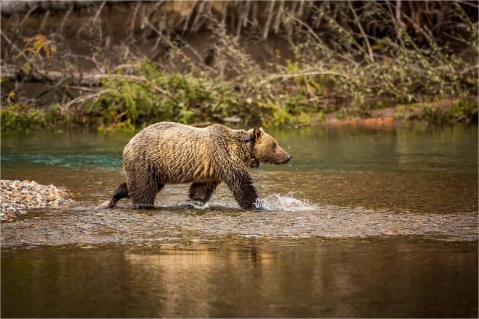 Kananaskis Grizzly 151 - © Christopher Martin-1075
