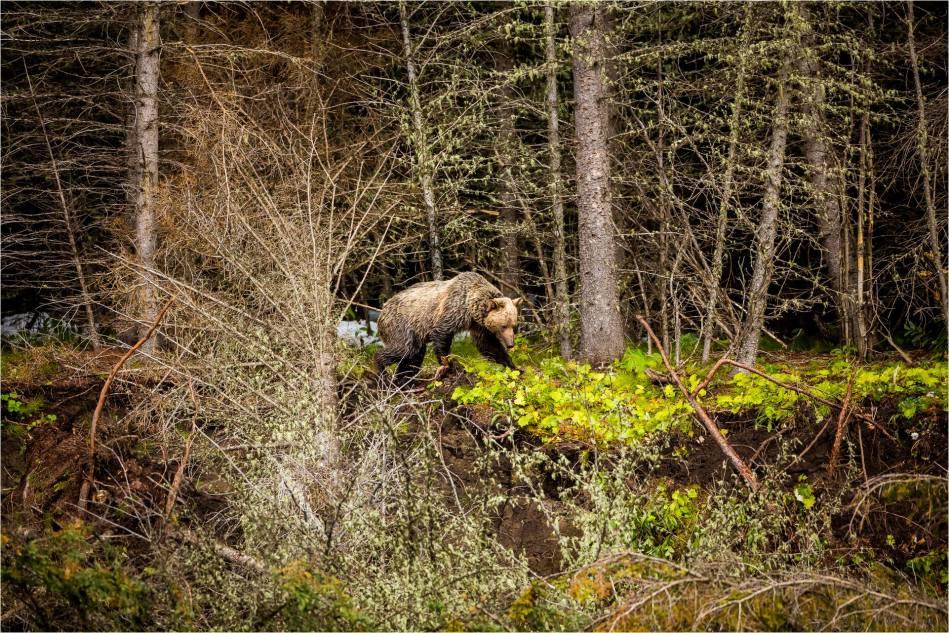 Kananaskis Grizzly 151 - © Christopher Martin-1150