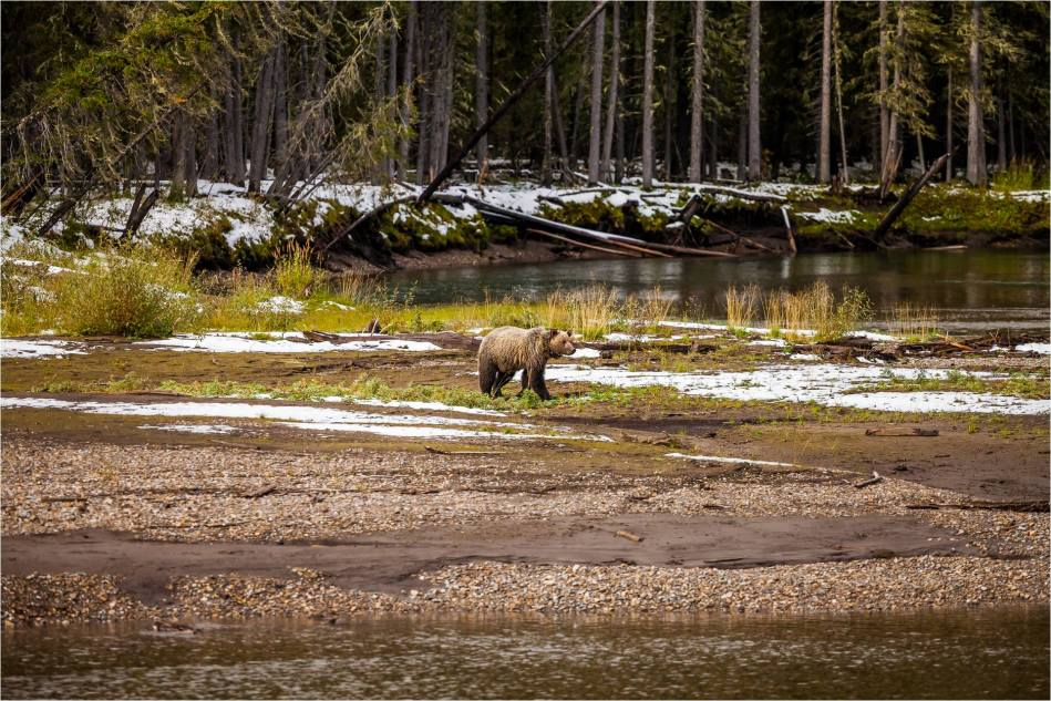 Kananaskis Grizzly 151 - © Christopher Martin-4719