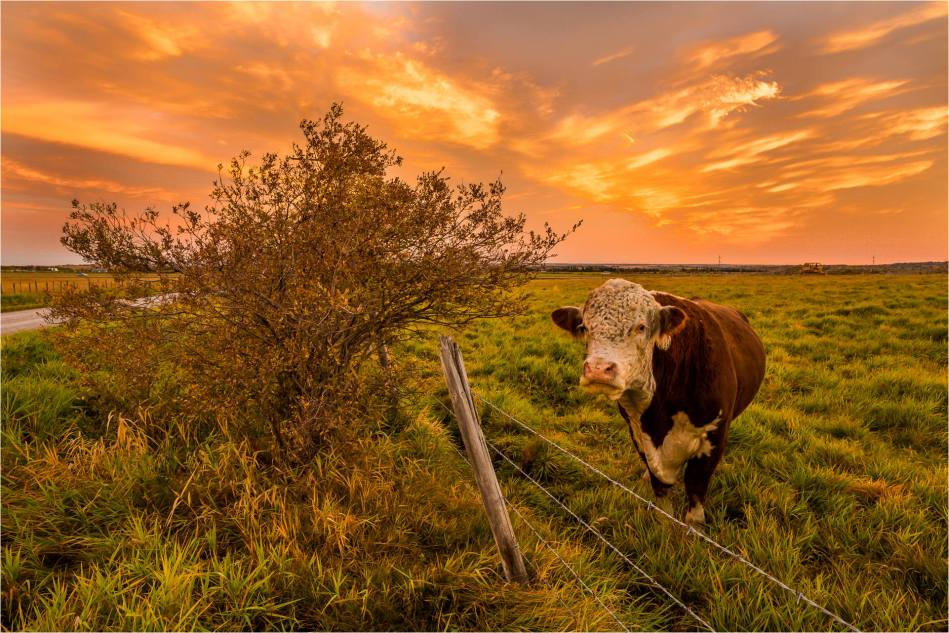 Sunrise Bull - © Christopher Martin-2122