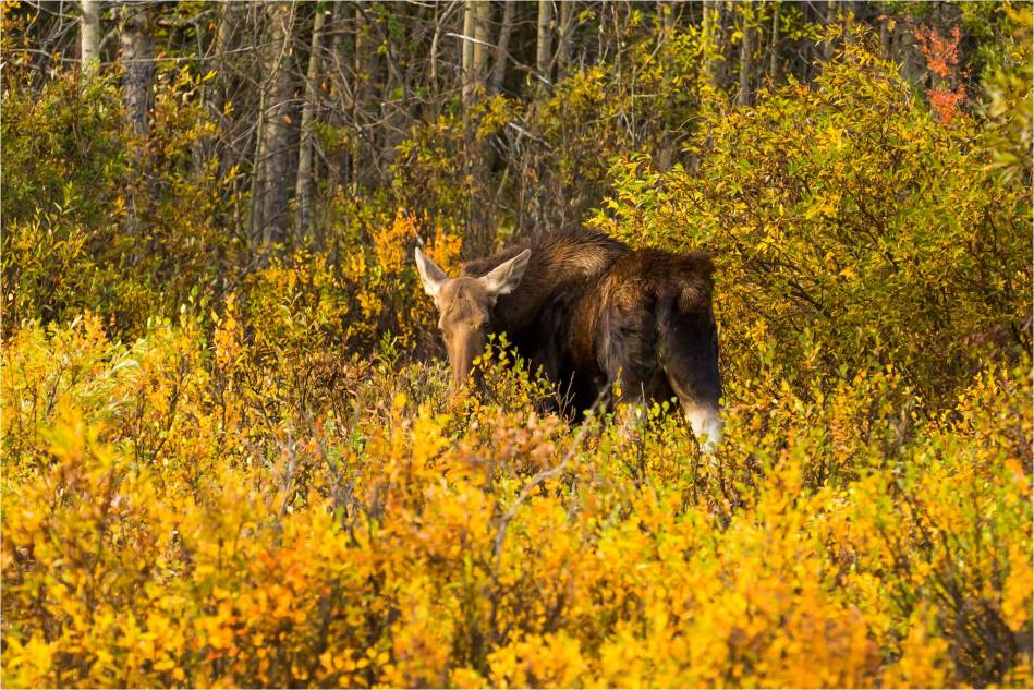 Autumn moose - © Christopher Martin-1449-2