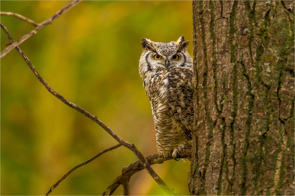 Owl in the woods - © Christopher Martin-3126