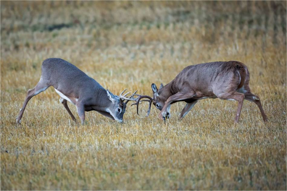 Rutting bucks - © Christopher Martin-5175
