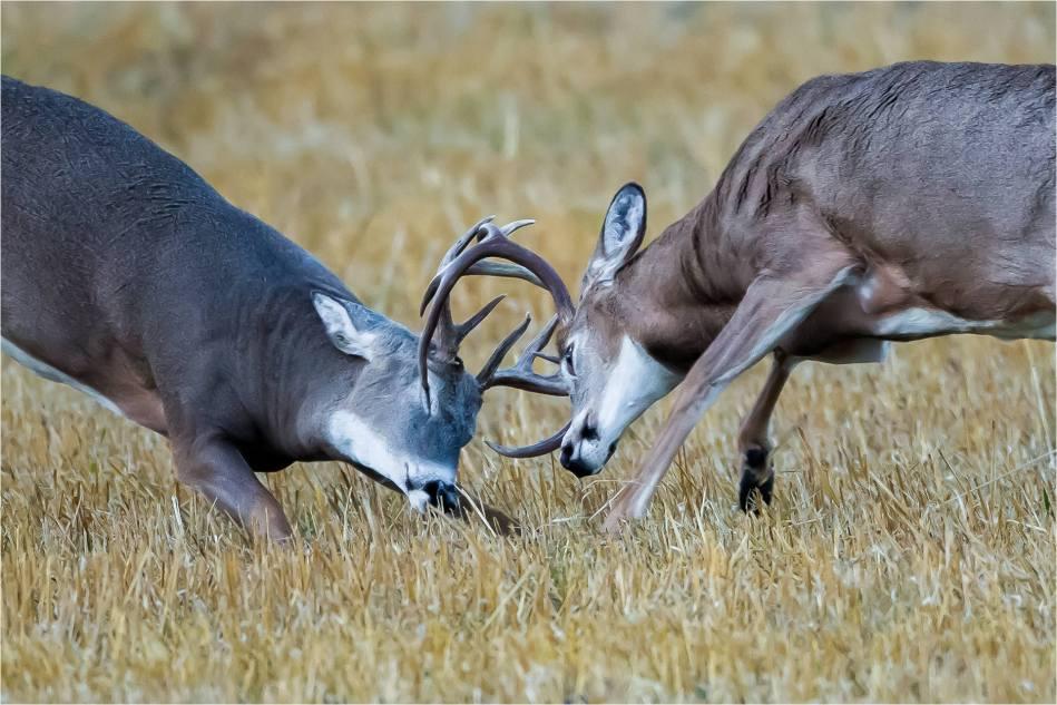 Rutting bucks - © Christopher Martin-5176-2