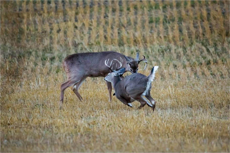 Rutting bucks - © Christopher Martin-5183