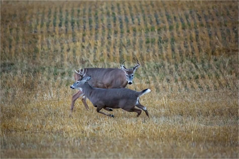 Rutting bucks - © Christopher Martin-5184