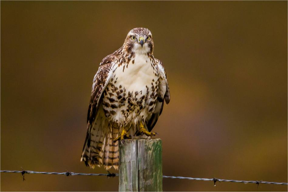 Turner Valley Hawks - © Christopher Martin-3733