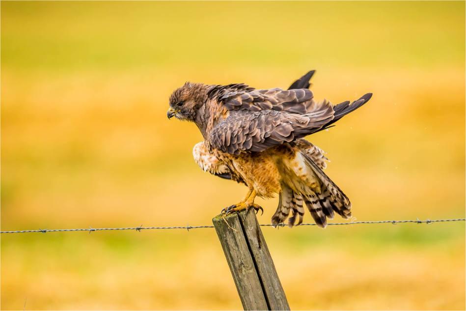 Turner Valley Hawks - © Christopher Martin-3755