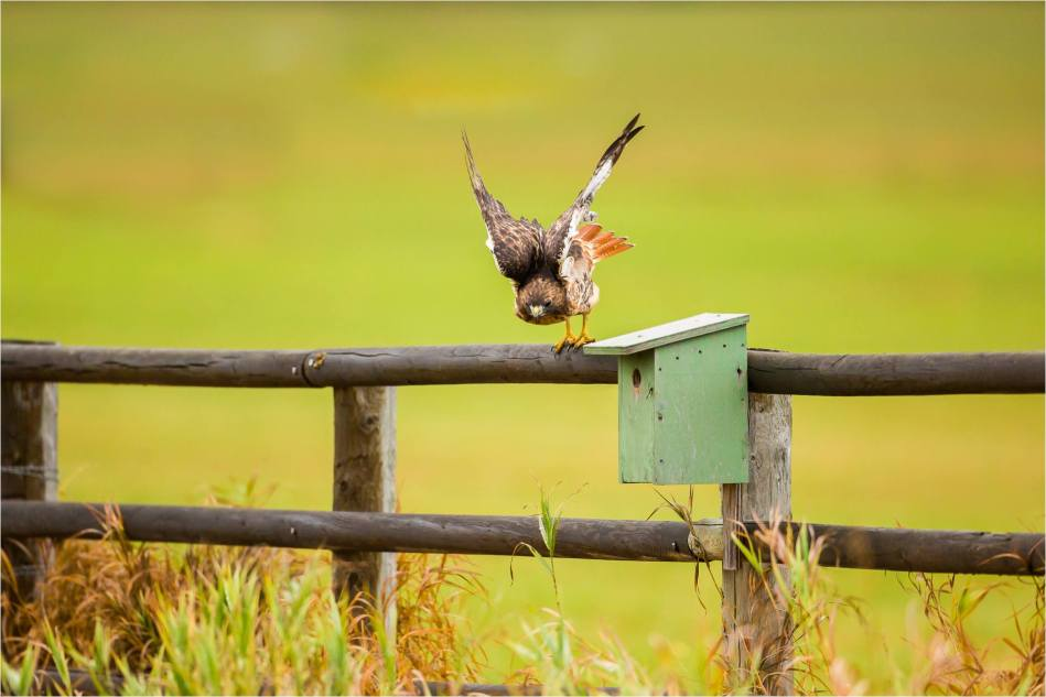 Turner Valley Hawks - © Christopher Martin-3786