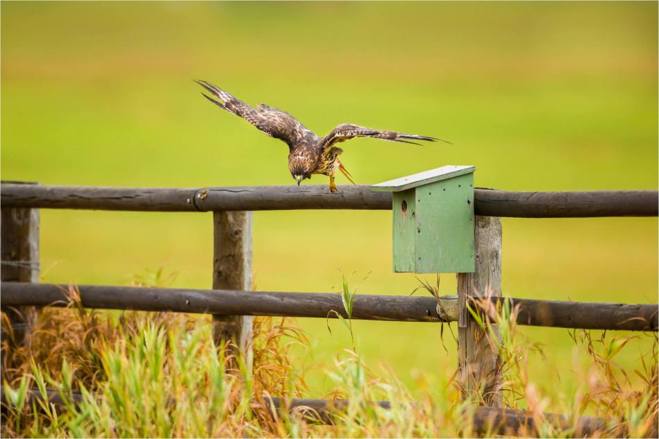 Turner Valley Hawks - © Christopher Martin-3787