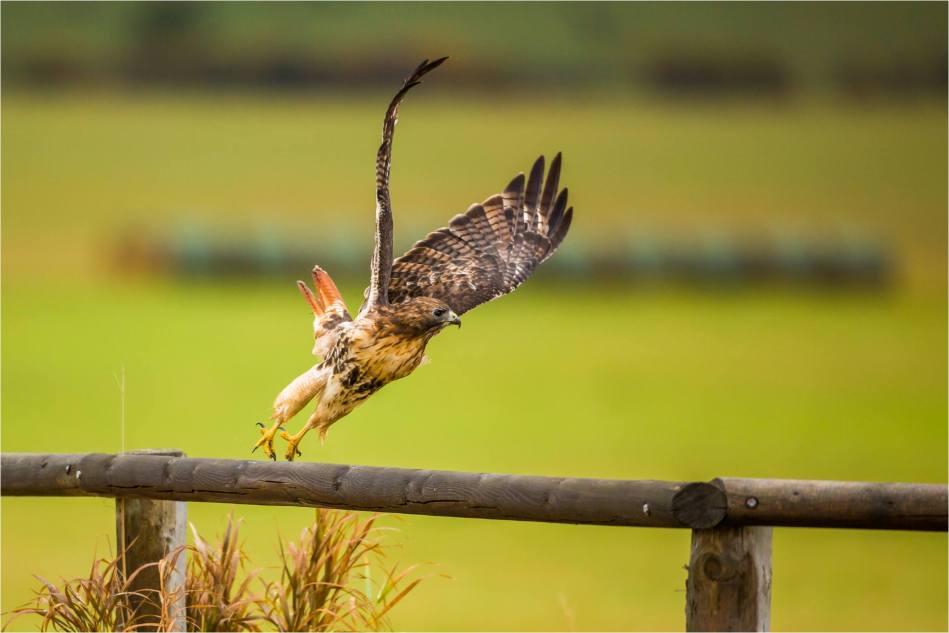 Turner Valley Hawks - © Christopher Martin-3797