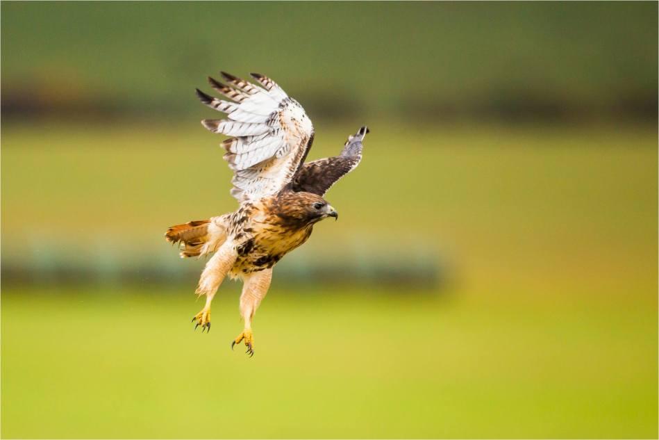 Turner Valley Hawks - © Christopher Martin-3798