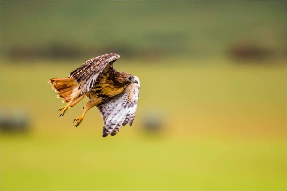 Turner Valley Hawks - © Christopher Martin-3799