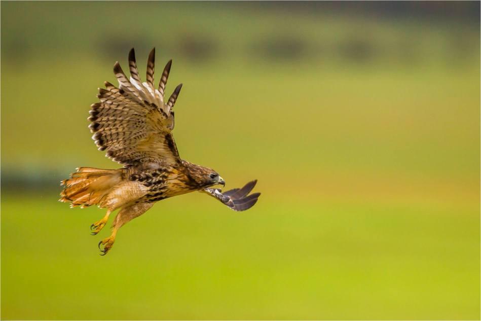 Turner Valley Hawks - © Christopher Martin-3801