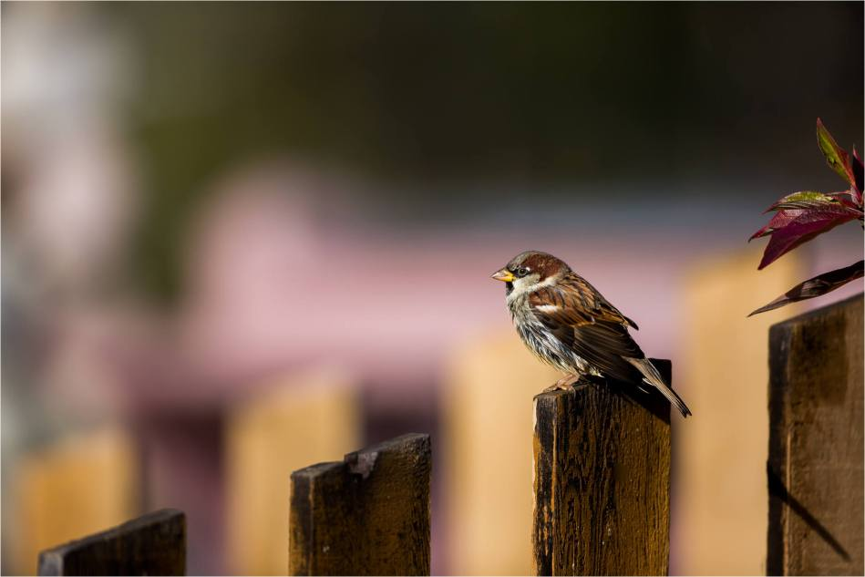 Canmore House Sparrows - © Christopher Martin-8984
