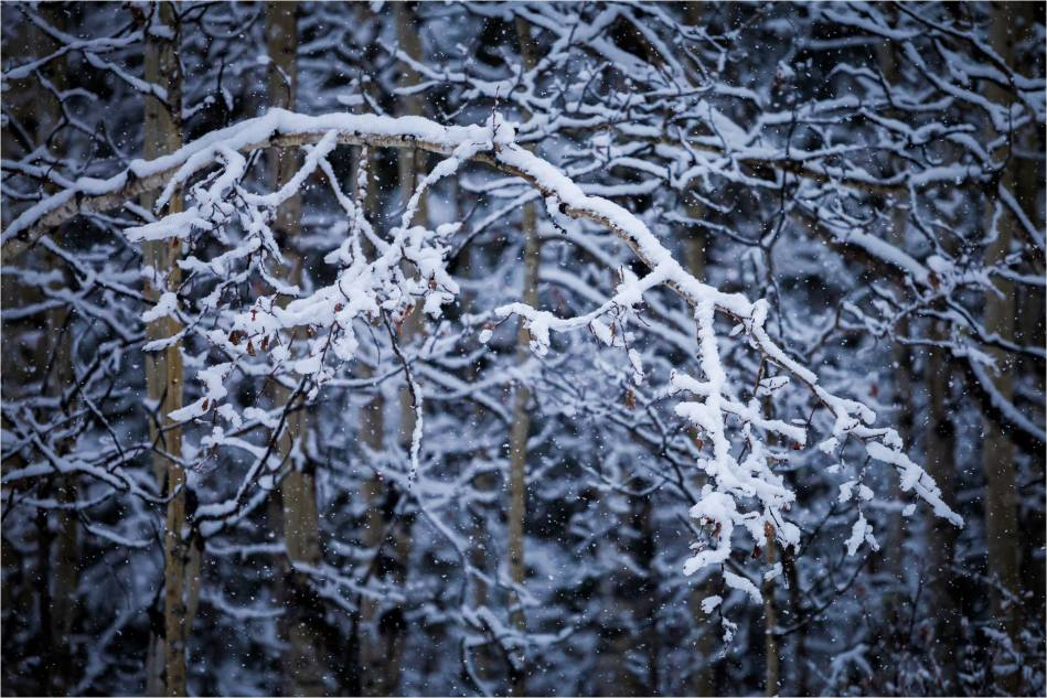 Snow branch - © Christopher Martin-5283