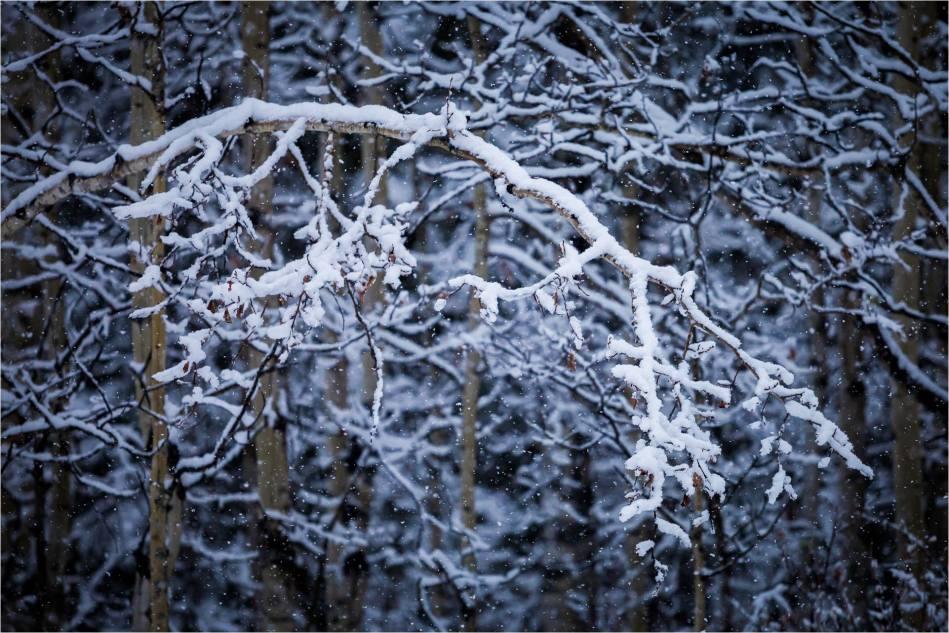 Snow branch - © Christopher Martin-5283