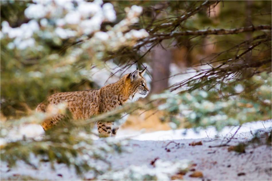 Alberta Bobcat Lynx - © Christopher Martin-8851