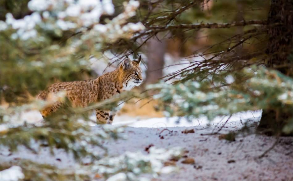 Alberta Bobcat Lynx - © Christopher Martin-8853