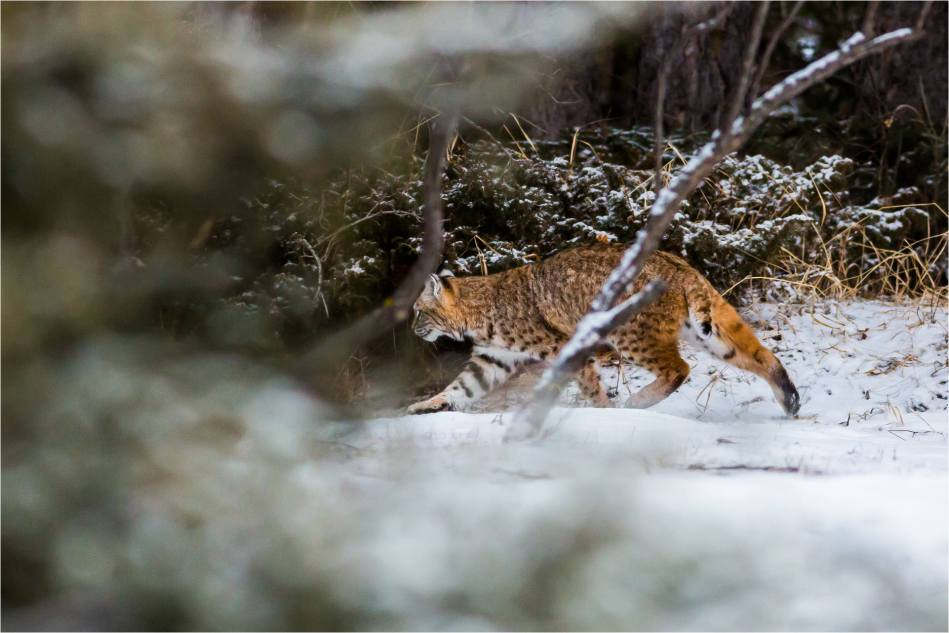 Bobcat prowl - © Christopher Martin-8857
